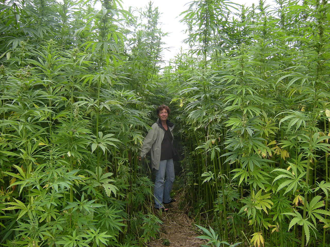 Hemp Farm, Photo courtesy - Barbetorte