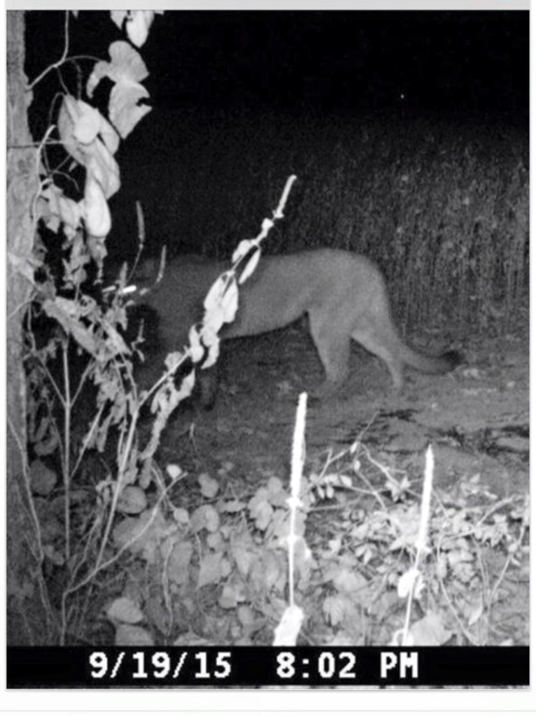 Tennessee Wildlife Resources Agency trail cam photo of mountain lion.
