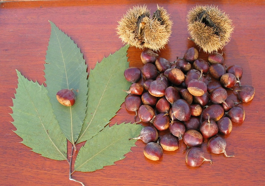 PHOTO: American Chestnut Nuts with Burrs and Leaves, courtesy Timothy Van Vliet