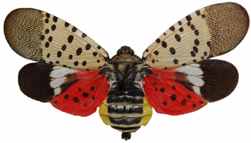 PHOTO: Spotted Lanternfly, courtesy West Virginia Department of Agriculture