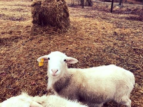Appalachia's Very Own Sheep Breed is Quickly Becoming the