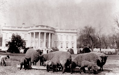 PHOTO: Sheep on the South Lawn of the White House, c. 1914.