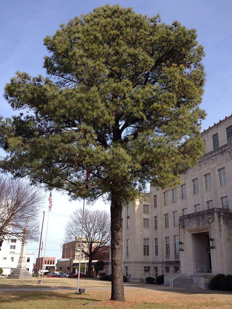 PHOTO: Courtesy of Jesse Berry, Moon Tree in front of Sebastian County Courthouse, in Fort Smith, Arkansas