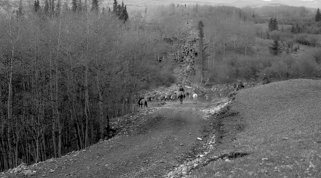 Photo courtesy, Cattle drive on the Clarence Copithorne Ranch, Jumping Pound Creek