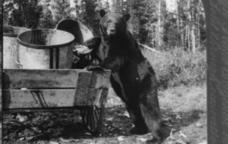 Photograph shows a black bear foraging in garbage containers, c 1905