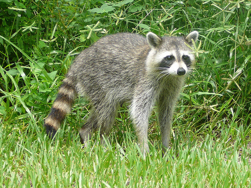 Photo: Raccoon, courtesy of Bastique